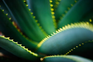 fitoterapia-aloes-drzewiasty